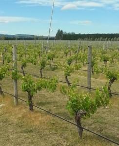 Waipara Vines